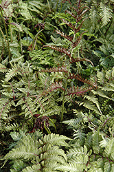 Japanese Painted Fern (Athyrium nipponicum 'Metallicum') at Glen Echo Nurseries