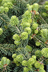 Dwarf Balsam Fir (Abies balsamea 'Nana') at Glen Echo Nurseries