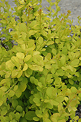 Golden Carousel Japanese Barberry (Berberis 'Bailsel') at Glen Echo Nurseries