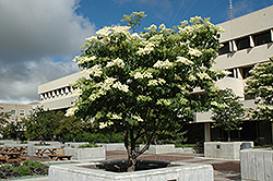 Ivory Silk Japanese Tree Lilac (Syringa reticulata 'Ivory Silk') at Glen Echo Nurseries