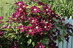 Warsaw Nike Clematis (Clematis 'Warsaw Nike') at Glen Echo Nurseries