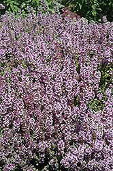 Mother-of-Thyme (Thymus praecox) at Glen Echo Nurseries