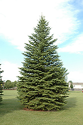Colorado Spruce (Picea pungens) at Glen Echo Nurseries