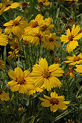 Tequila Sunrise Tickseed (Coreopsis 'Tequila Sunrise') at Glen Echo Nurseries