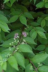 Japanese Beautyberry (Callicarpa japonica) at Glen Echo Nurseries