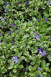 Ralph Shugert Periwinkle (Vinca minor 'Ralph Shugert') at Glen Echo Nurseries