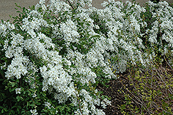 The Bride Pearlbush (Exochorda x macrantha 'The Bride') at Glen Echo Nurseries