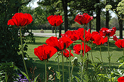Beauty of Livermere Poppy (Papaver orientale 'Beauty of Livermere') at Glen Echo Nurseries