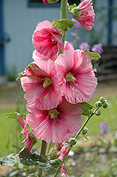 Pink Hollyhock (Alcea rosea 'Pink') at Glen Echo Nurseries