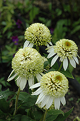 Coconut Lime Coneflower (Echinacea 'Coconut Lime') at Glen Echo Nurseries