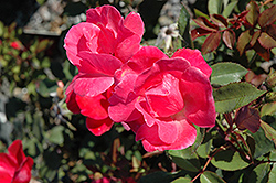 Pink Knock Out® Rose (Rosa 'Radcon') at Glen Echo Nurseries