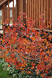 Autumn Magic Black Chokeberry (Aronia melanocarpa 'Autumn Magic') at Glen Echo Nurseries