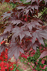 Bloodgood Japanese Maple (Acer palmatum 'Bloodgood') at Glen Echo Nurseries