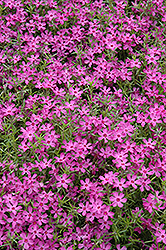Crimson Beauty Moss Phlox (Phlox subulata 'Crimson Beauty') at Glen Echo Nurseries