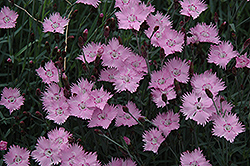 Bath's Pink Pinks (Dianthus 'Bath's Pink') at Glen Echo Nurseries