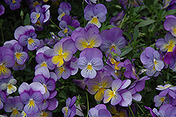 Rebel Blue and Yellow Pansy (Viola 'Rebel Blue and Yellow') at Glen Echo Nurseries