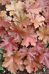 Mahogany Coral Bells (Heuchera 'Mahogany') at Glen Echo Nurseries