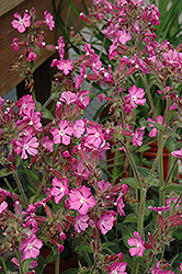 Rolly's Favorite Campion (Silene 'Rolly's Favorite') at Glen Echo Nurseries