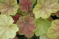 Tiramisu Coral Bells (Heuchera 'Tiramisu') at Glen Echo Nurseries