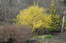 Northern Gold Forsythia (Forsythia 'Northern Gold') at Glen Echo Nurseries