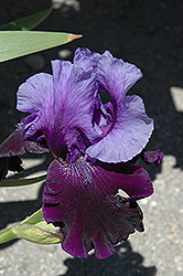 Fatal Attraction Iris (Iris 'Fatal Attraction') at Glen Echo Nurseries