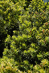 New Selection Yew (Taxus x media 'New Selection') at Glen Echo Nurseries