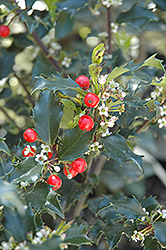 Berri-Magic Kids Meserve Holly (Ilex x meserveae 'Berri-Magic Kids') at Glen Echo Nurseries