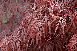 Crimson Queen Japanese Maple (Acer palmatum 'Crimson Queen') at Glen Echo Nurseries