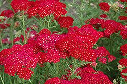 Pomegranate Yarrow (Achillea millefolium 'Pomegranate') at Glen Echo Nurseries