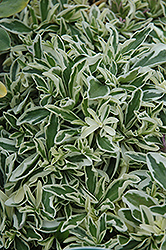 Variegated Wall Cress (Arabis caucasica 'Variegata') at Glen Echo Nurseries