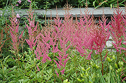 Visions in Pink Chinese Astilbe (Astilbe chinensis 'Visions in Pink') at Glen Echo Nurseries