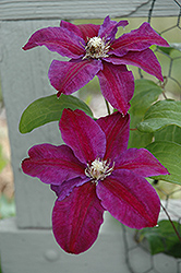 Vivienne Clematis (Clematis 'Vivienne') at Glen Echo Nurseries