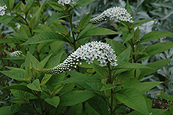 Gooseneck Loosestrife (Lysimachia clethroides) at Glen Echo Nurseries