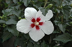 Lil' Kim® Rose of Sharon (Hibiscus syriacus 'Antong Two') at Glen Echo Nurseries