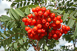 Cardinal Royal Mountain Ash (Sorbus aucuparia 'Cardinal Royal') at Glen Echo Nurseries