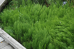 Common Horsetail (Equisetum arvense) at Glen Echo Nurseries