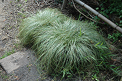 New Zealand Hair Sedge (Carex comans 'Frosted Curls') at Glen Echo Nurseries