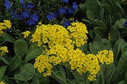 Basket Of Gold Alyssum (Aurinia saxatilis) at Glen Echo Nurseries