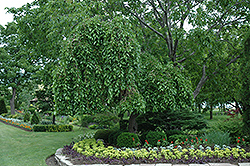 Weeping Mulberry (Morus alba 'Pendula') at Glen Echo Nurseries