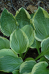 Avalanche Hosta (Hosta 'Avalanche') at Glen Echo Nurseries