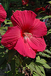 Sultry Kiss Hibiscus (Hibiscus 'Sultry Kiss') at Glen Echo Nurseries
