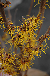 Barmstedt Gold Witchhazel (Hamamelis x intermedia 'Barmstedt Gold') at Glen Echo Nurseries