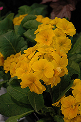 Supernova Golden Yellow Primrose (Primula 'Supernova Golden Yellow') at Glen Echo Nurseries