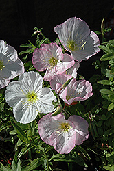 Mexican Evening Primrose (Oenothera berlandieri) at Glen Echo Nurseries
