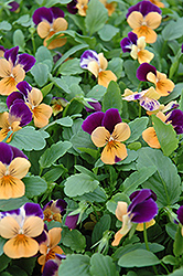 Sorbet® Orange Duet Pansy (Viola 'Sorbet Orange Duet') at Glen Echo Nurseries