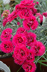 Double Star Starlette Pinks (Dianthus 'Double Star Starlette') at Glen Echo Nurseries