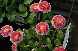 Bellisima Pink English Daisy (Bellis perennis 'Bellissima Pink') at Glen Echo Nurseries