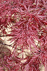 Red Dragon Japanese Maple (Acer palmatum 'Red Dragon') at Glen Echo Nurseries