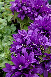Purple Pixie Clustered Bellflower (Campanula glomerata 'Purple Pixie') at Glen Echo Nurseries