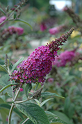 Miss Ruby Butterfly Bush (Buddleia davidii 'Miss Ruby') at Glen Echo Nurseries